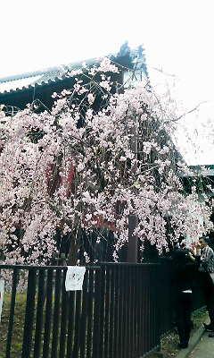 桜花散りつつ