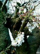 桜花盛りに