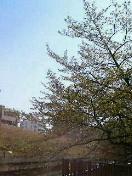 桜花散りぬる