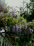 咲く花の色