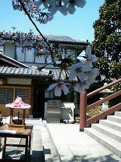 全生庵の桜