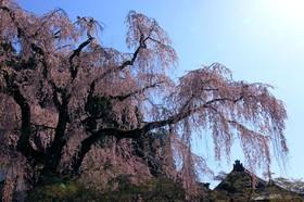 故郷の桜の名所