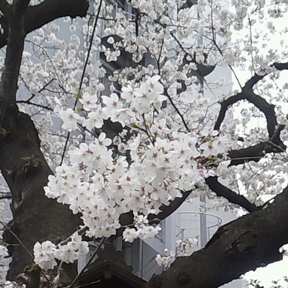 桜咲き誇る