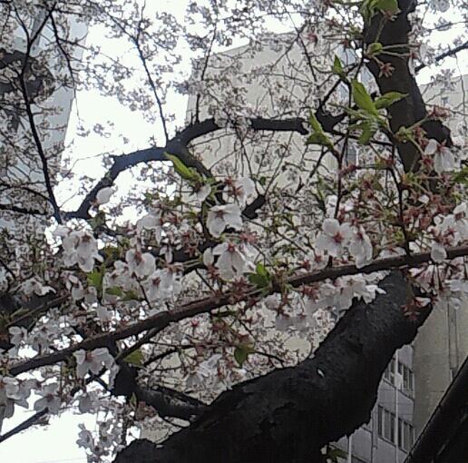 桜花雨に濡れて…