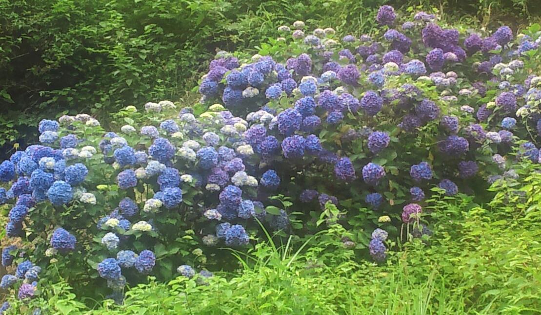 紫陽花の手拭い