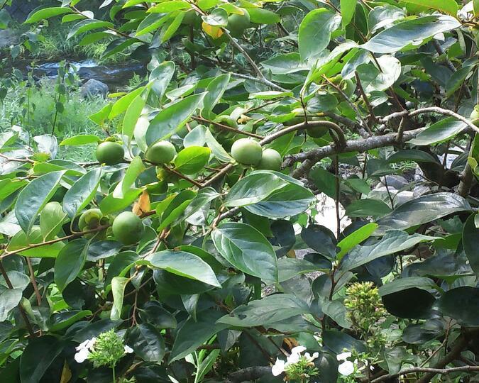 庭の柿の実