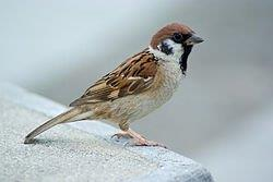 電子メールで送信: 250px-Tree_Sparrow_August_2007_Osaka_Japan.jpg
