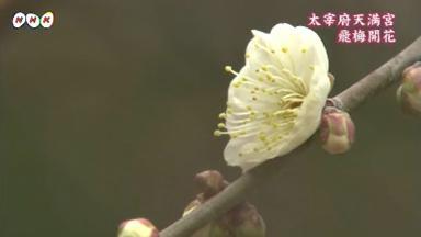 「飛び梅」開花