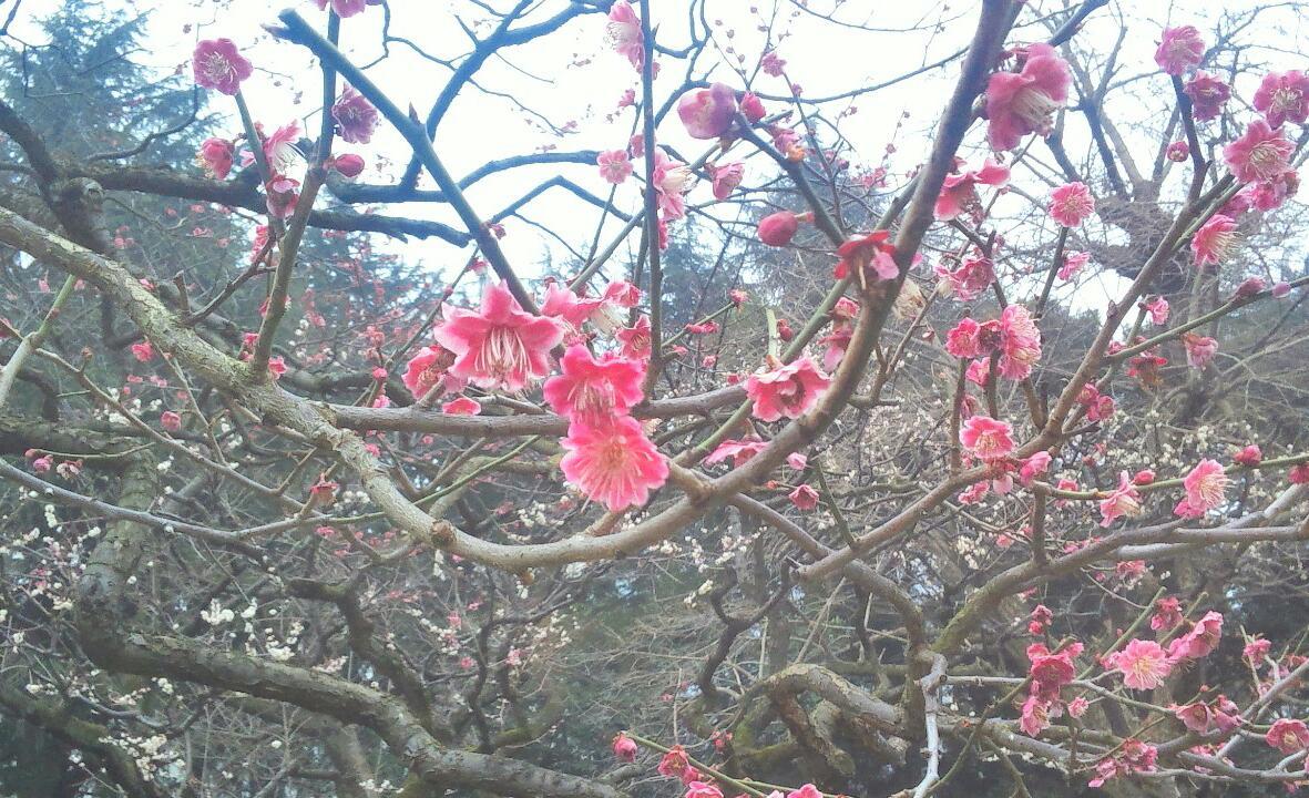 梅は咲いたか桜はまだかいな