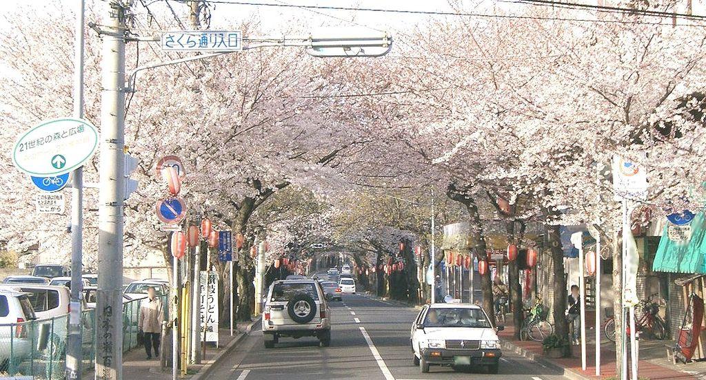 Tokiwadaira_sakura_douri_01