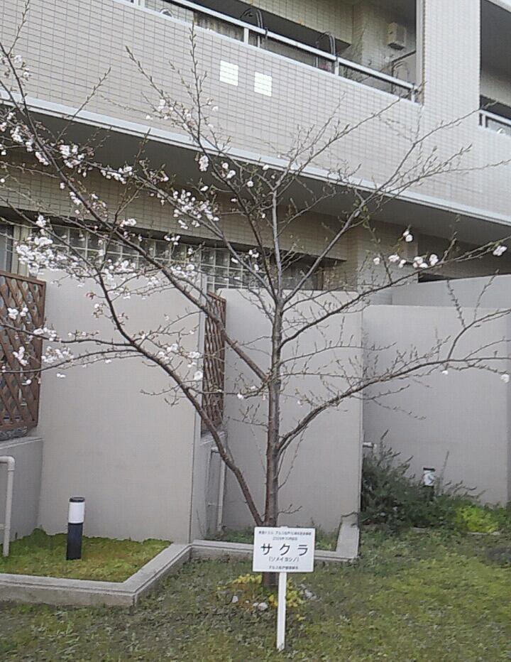 昨日と今朝の桜