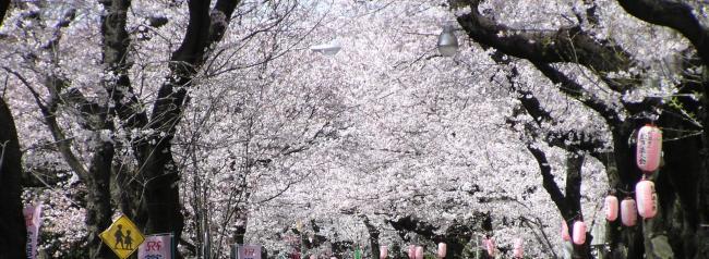 Sakuranamiki