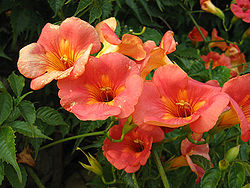 250pxcampsisgrandiflora