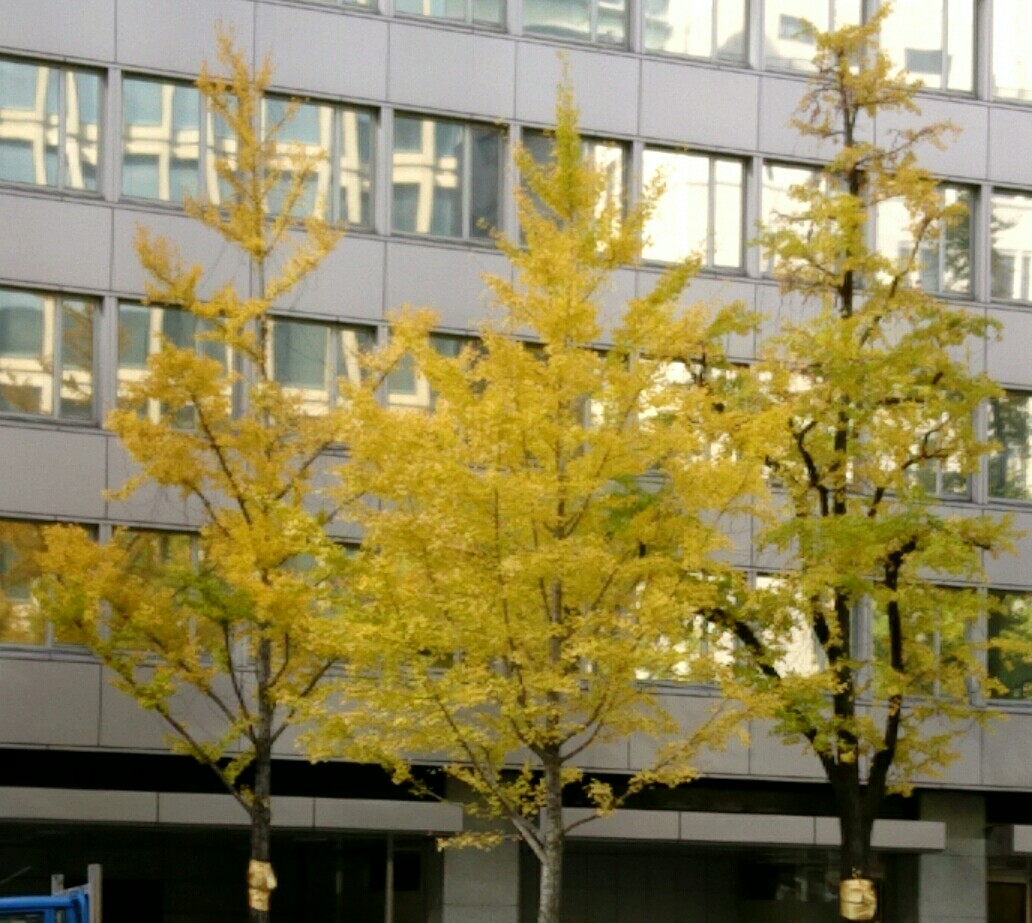 御堂筋の銀杏並木