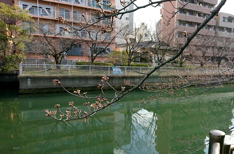 桜の開花待ち?