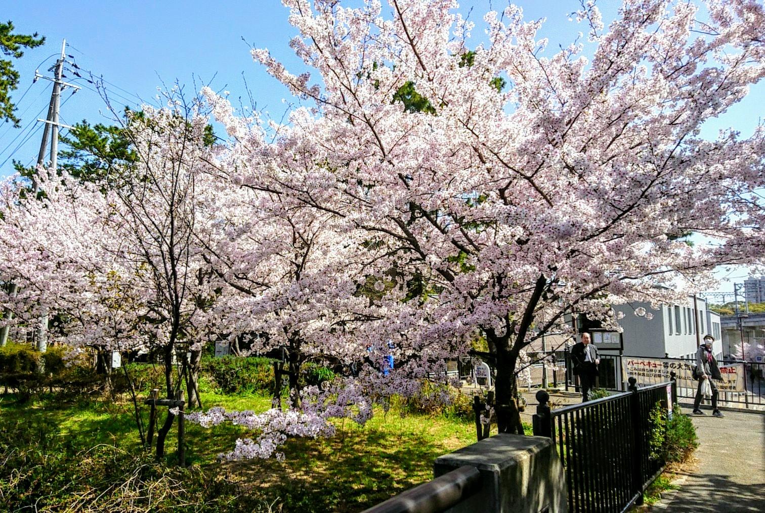 関西某所の桜