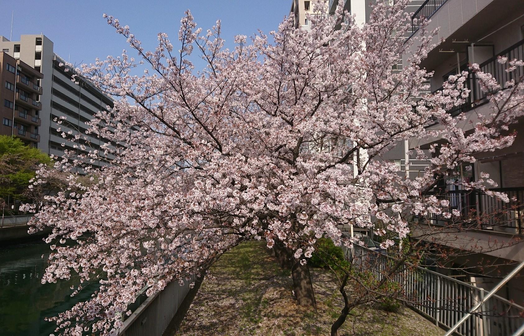 大横川の桜