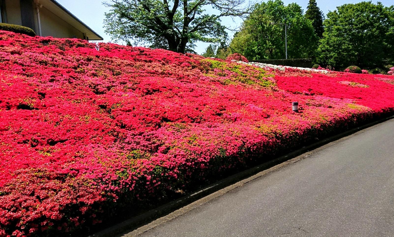 クルメツツジの花